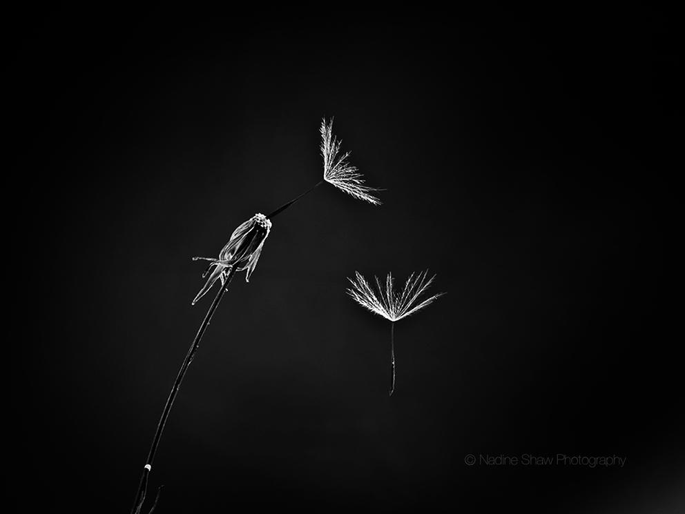 Hasselblad Dandelion
